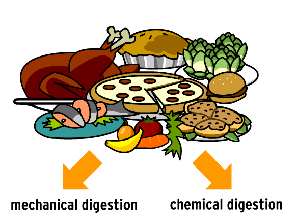 Digestive System Lesson Plans And Lesson Ideas