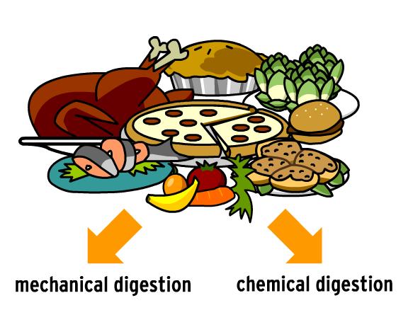 showing post & media for chemical digestion cartoon | www, Cephalic Vein