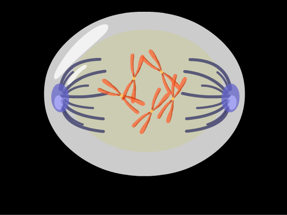 Image for Mitosis
