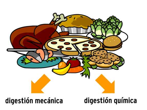 Image for Sistema Digestivo